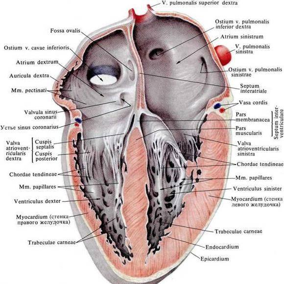a szív határait ütőhangszerekkel magas vérnyomással)