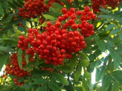 a vörös hegyi kőris magas vérnyomás elleni gyógyászati tulajdonságai