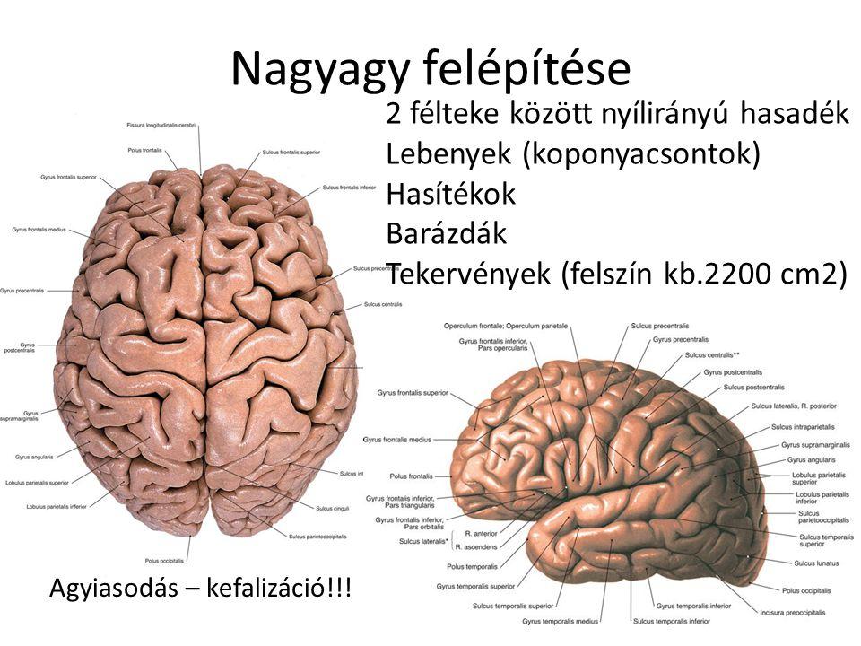 magas vérnyomás az agy fehérállománya)