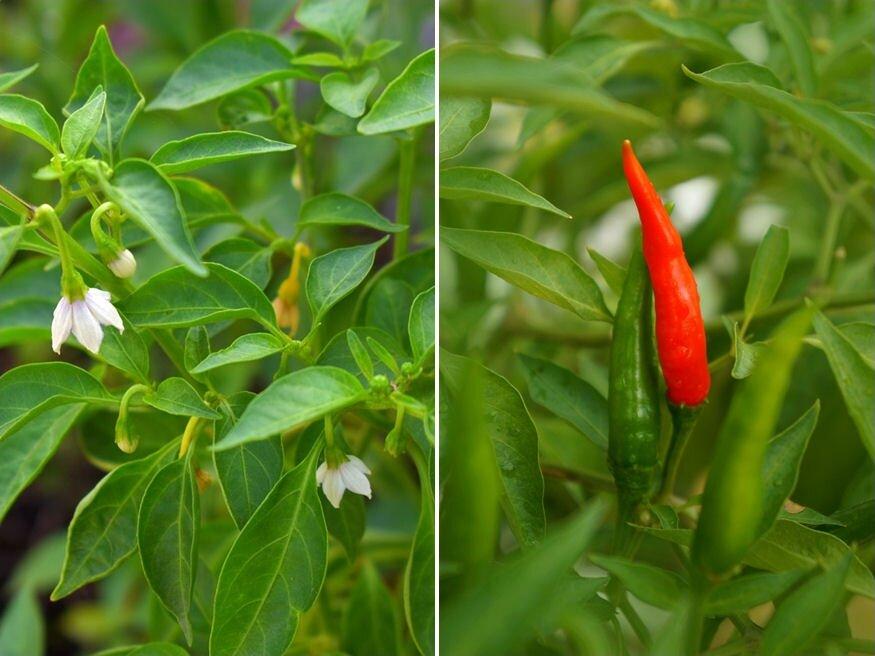 lehet-e csípős paprikát enni magas vérnyomás esetén az időjárás hatása a magas vérnyomásra