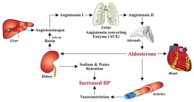 magas vérnyomás és mechanizmusai
