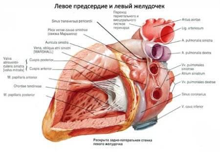 magas vérnyomás szív megnagyobbodása)