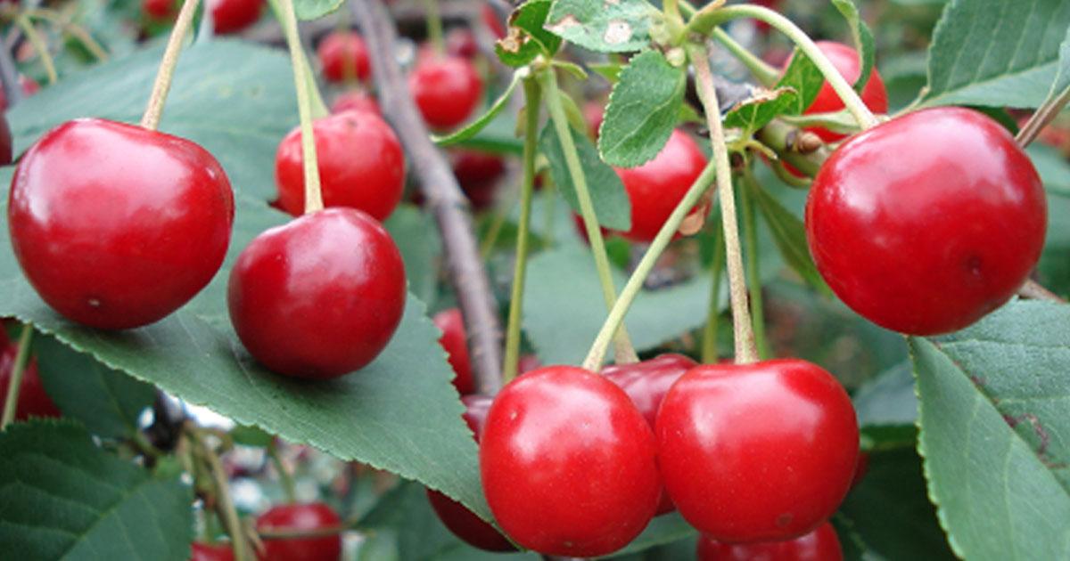 magas vérnyomás és cseresznye magas vérnyomás fejtámla