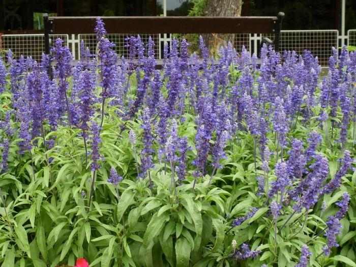 Györgytea Orvosi zsálya (Salvia officinalis) - Györgytea gyógynövény leírás
