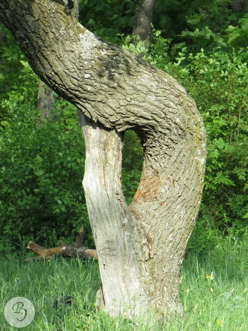 nyárfa kérge magas vérnyomásban)