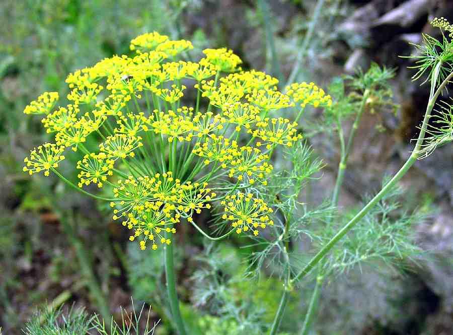 a magas vérnyomásban szenvedő növények)