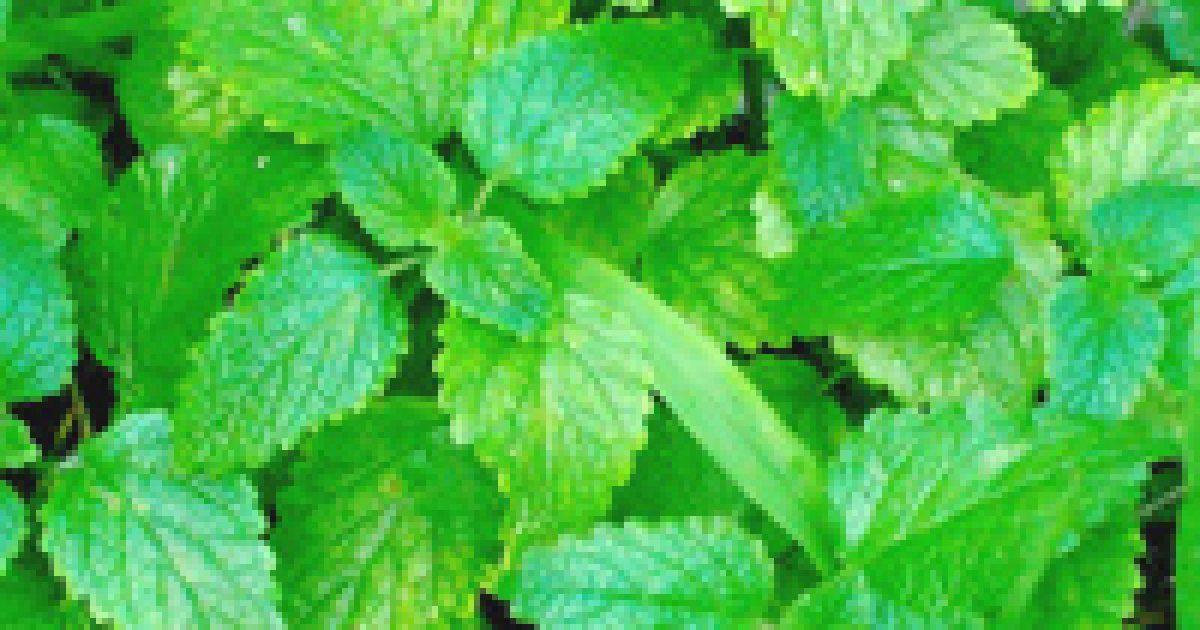 vizelethajtó növények magas vérnyomás ellen
