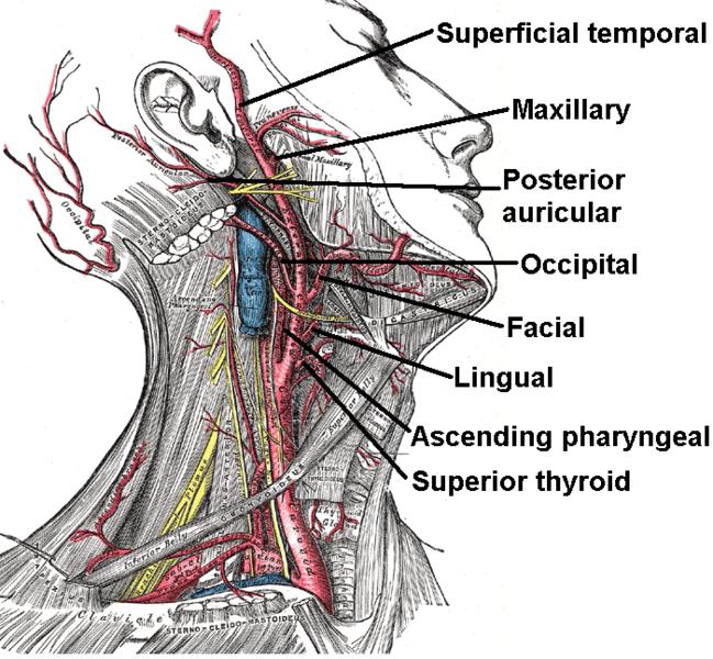 Nyaki artériák ultrahang vizsgálata | Aniron Egészségközpont
