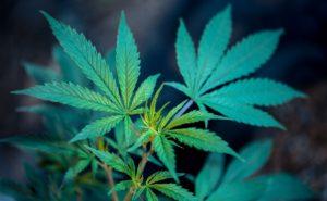 Cannabis Oil CBD – gyógymód a magas vérnyomás nélkül kapható